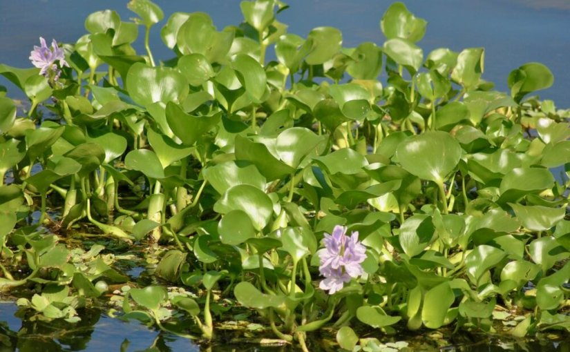 water hyacinth biofuel