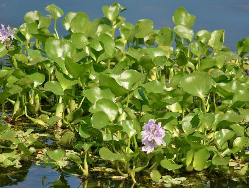 water hyacinth biofuel